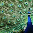 Peacock — Stock Photo #5945340