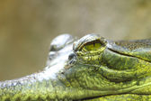 Aligator eye — Stock Photo