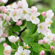 Spring apple flowers background — Stock Photo