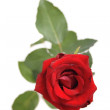 Rose on white — Stock Photo #6120723
