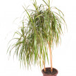 Palm in flowerpot — Stock Photo #6180958