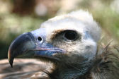 Head of vulture — Stock Photo