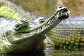 Detail of alligator head — Stock Photo