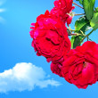 Red roses on a background of blue sky 2 — Stock Photo