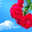 Red roses on a background of blue sky 2 — Stock Photo #5898794