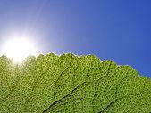 Zelený list, zářící ve slunečním světle — Stock fotografie