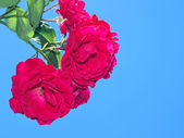 Red roses — Fotografia Stock