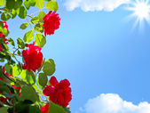 Red roses on a background of blue sky 3 — Stock Photo