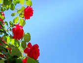 Red roses on blue sky background. — Стоковое фото