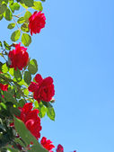 Red roses on blue sky background 2 — Stok fotoğraf