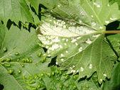 Szkodników winogron winorośli kleszcza, fitoptus. — Zdjęcie stockowe