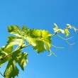 Young grape leaves — Stock Photo #5913567