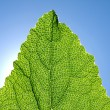 Green leaf against blue sky. — Stockfoto #5913585