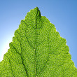 Stock Photo: Green leaf against blue sky.