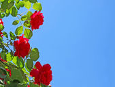 Red roses on blue sky background. — Stock Photo