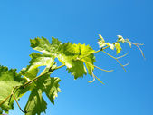 Young grape leaves — Stock Photo