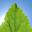 Photo: Green leaf against blue sky.