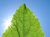 Green leaf against the blue sky. — Stock Photo