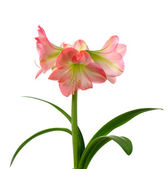Blooming amaryllis — Foto Stock