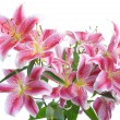 Pink lily — Stock Photo #5620516