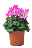 Blooming cyclamen in pot — Stock Photo
