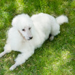White poodle - Stock Photo