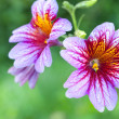Salpiglossis - Stock Photo