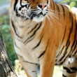 Tiger on a tree — Stock Photo #5537297