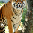 Tiger on a tree — Stock Photo #5537298