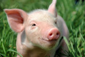 Young pig on a green grass — Stock Photo