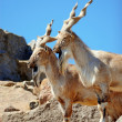 markhor — Stock Photo #5768214