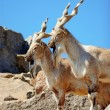 markhor — Stock Photo