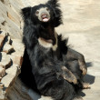 Sloth bear — Stock Photo #5768426