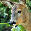 Deer portrait — Stock Photo #5768467