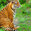 Beautiful tiger — Stock Photo #5768560