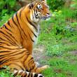 Beautiful tiger — Stock Photo #5768560
