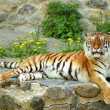 Beautiful tiger — Stock Photo #5769495