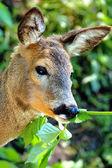 Portrait deer — Stock Photo