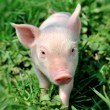 Young pig on a green grass — Stock Photo #6020100