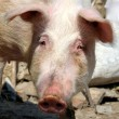 Old pig — Stock Photo