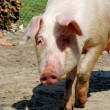 Stock Photo: Old pig