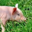 Young pig on a green grass — Stock Photo #6020156