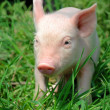Young pig on a green grass — Stock Photo #6020158