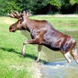 Stock Photo: Elk goes out lake