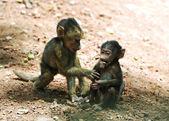 Family of monkeys — Stock Photo