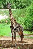African giraffes — Stock Photo