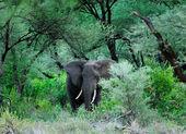 Большой слон — Stock Photo