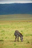 Zebra in the grass — Stock Photo