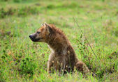 Hyena in the grass — Stock Photo