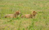 African lions — Stock Photo